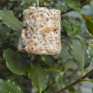 A photograph of a bird cake hanging in a hedge.